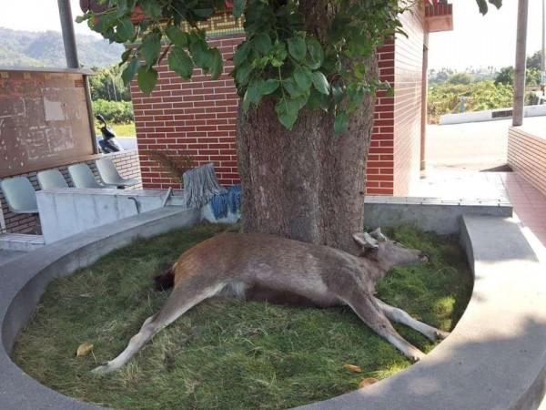 一頭成年水鹿躺在田中鎮福天宮後方茄苳樹上靜靜等斷氣。(記者陳冠備翻攝)