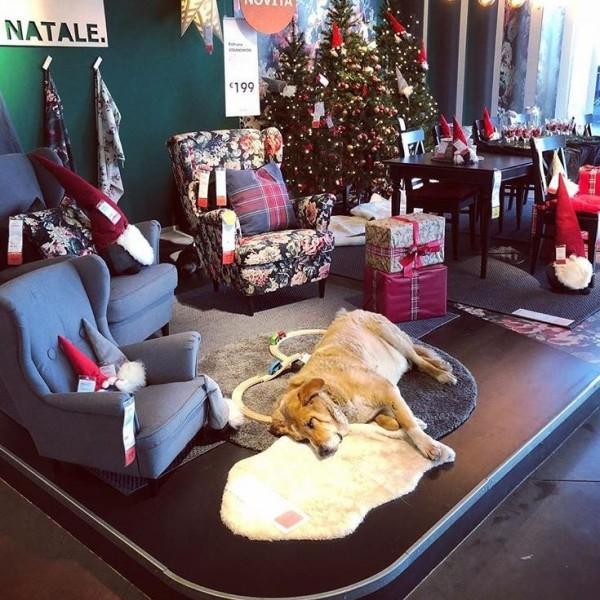 義大利一間IKEA讓流浪狗進入店內休息取暖。(圖擷自IG)