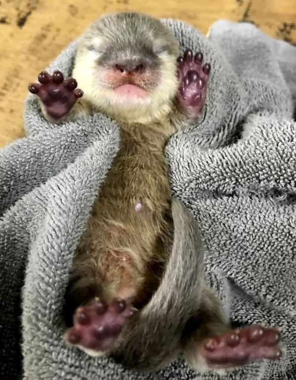 小爪水獺寶寶睡到四腳朝天。(台北市立動物園)