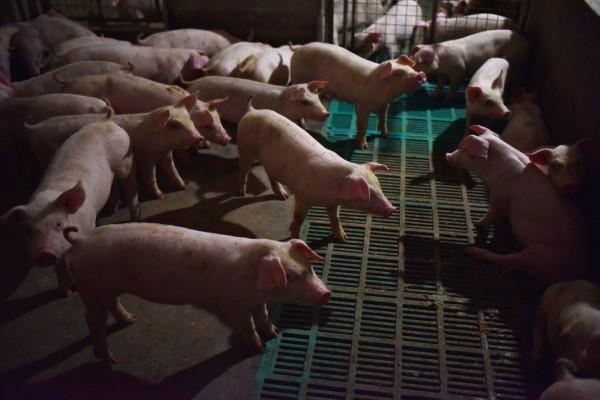 中國非洲豬瘟疫情持續爆發,讓鄰近國家緊張搬出禁令。(法新社)