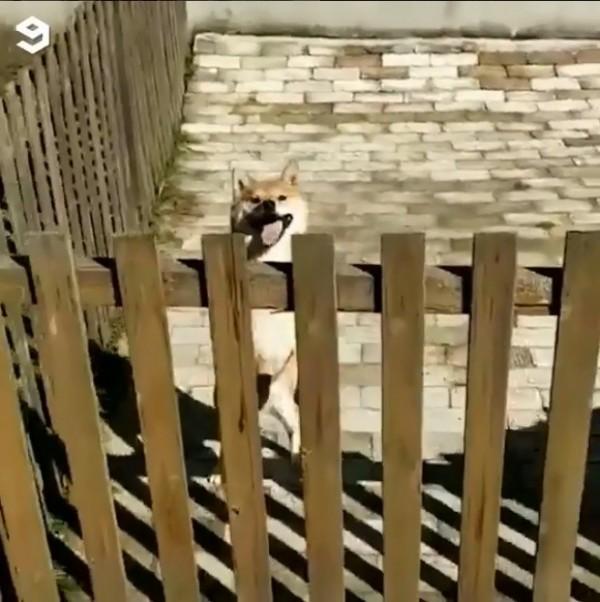 柴犬神技「牆上跑」 網友驚呼:不愧來自忍者發源地