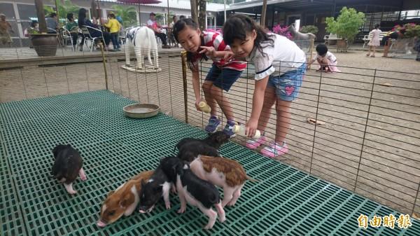 餵小豬喝奶。(記者楊金城攝)