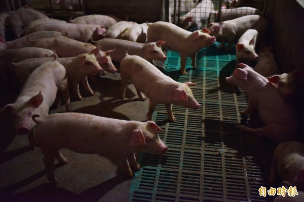 中國又傳出非洲豬瘟的新疫情,中國官方在今天(11月19日)發布公告,稱黑龍江省的哈爾濱再發現新的非洲豬瘟疫情,發病269頭豬,死亡269頭豬。(法新社)