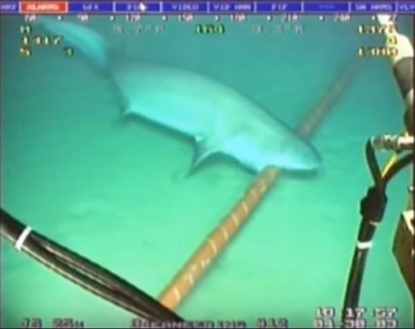 網友貼出鯊魚咬電纜線的影片,說明鯊魚只會輕咬確認。(圖擷自YouTube)