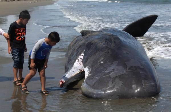 印尼瓦卡托比(Wakatobi)國家公園有一條抹香鯨屍被沖上岸,解剖後在胃裡發現115個塑膠飲水杯和2個夾腳拖。圖為印尼之前被沖上岸的鯨屍。(路透)
