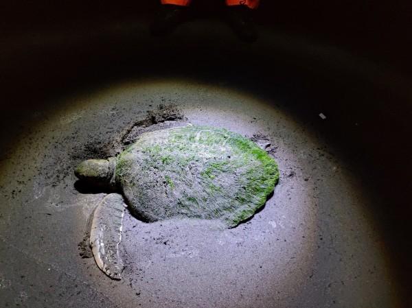 綠蠵龜受困東港鎮海沙灘。(記者陳彥廷翻攝)