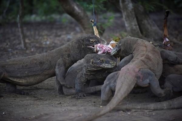 印尼政府為保護世上最大的蜥蜴「科摩多巨蜥」而建立科莫多國家公園。(路透)