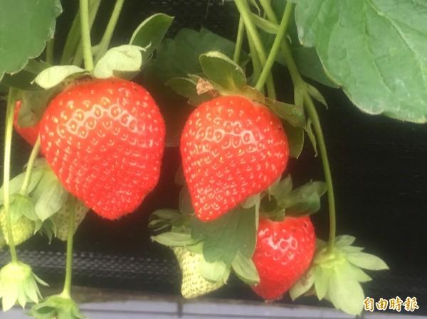 大湖地區草莓進入盛產期,民眾可安排假期前往享受採果樂。(記者張勳騰攝)