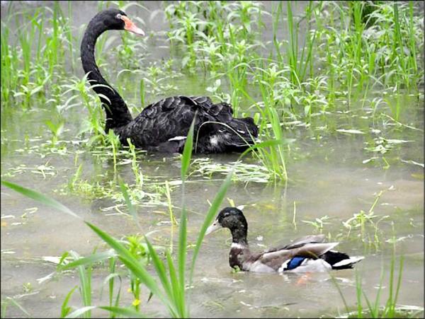 日本名古屋市東山動植物園2016年12月發生高病原性禽流感,共13隻禽鳥遭感染。圖為園方2018年7月公布的其中一隻黑天鵝(圖上)和一隻綠頭鴨(圖下)照片,如今只剩下那隻綠頭鴨倖存。這兩隻「大難不死」的鳥兒,也在日本博得「奇蹟的水鳥」美譽。(取自產經新聞)