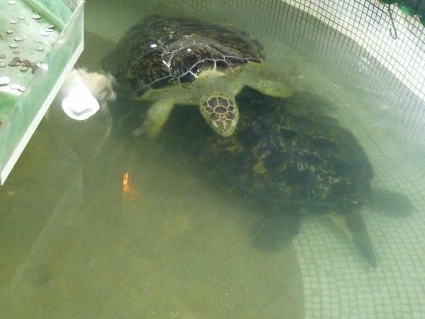 被囚禁的海龜。(台灣動物社會研究會提供)