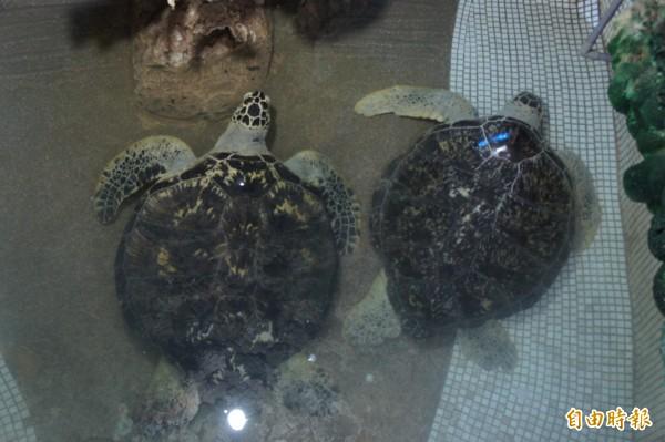澎湖西嶼竹灣大義宮養了8隻海龜,人工飼養過久,不能貿然野放。(記者劉禹慶攝)