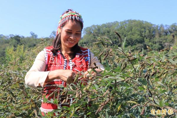 三灣鄉農民將原住民視為天然食補的樹豆引進至平地栽種,今年大豐收。(記者鄭名翔攝)