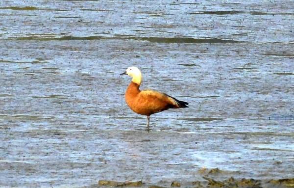 稀有的冬候鳥黃麻鴨11月24日在急水溪學甲濕地驚鴻一瞥,短暫停留一天後就不見了。(黃永豐提供)