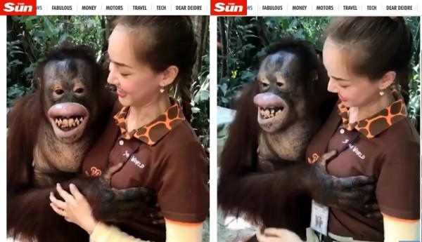 泰國曼谷一間野生動物園一隻猩猩,趁著遊客拍照的時候,伸出鹹豬手狂捏一旁正妹女員工的胸部,讓這名正被拍攝的女員工相當尷尬。(圖擷取自《TheSun》)