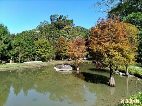 太平苗圃的落羽松,現在樹葉轉紅,水面倒影,猶如夢幻美景,吸引大批遊客造訪。(記者黃鐘山攝)