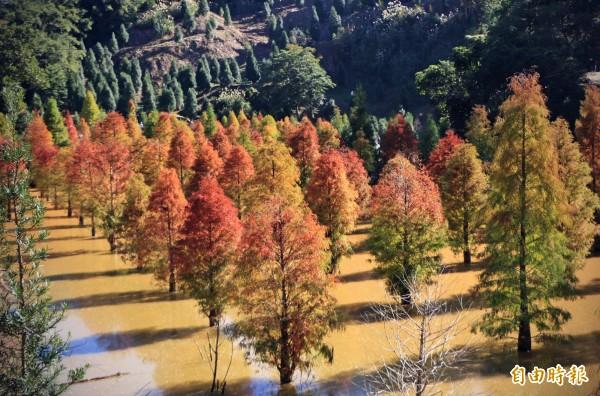 三灣水中落羽松秘境,羽葉逐漸轉紅,在山坳間形成迷人美景。(記者鄭名翔攝)