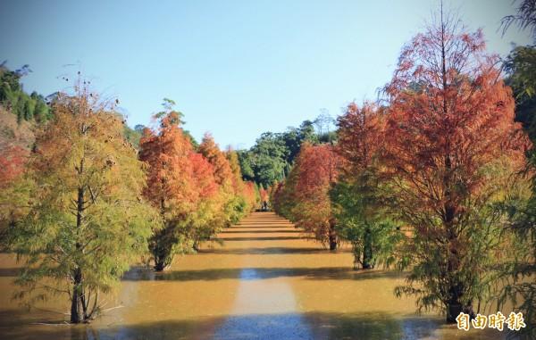落羽松種在水田裡,羽葉呈紅、澄、綠三色,倒映在水田中,十分迷人。(記者鄭名翔攝)
