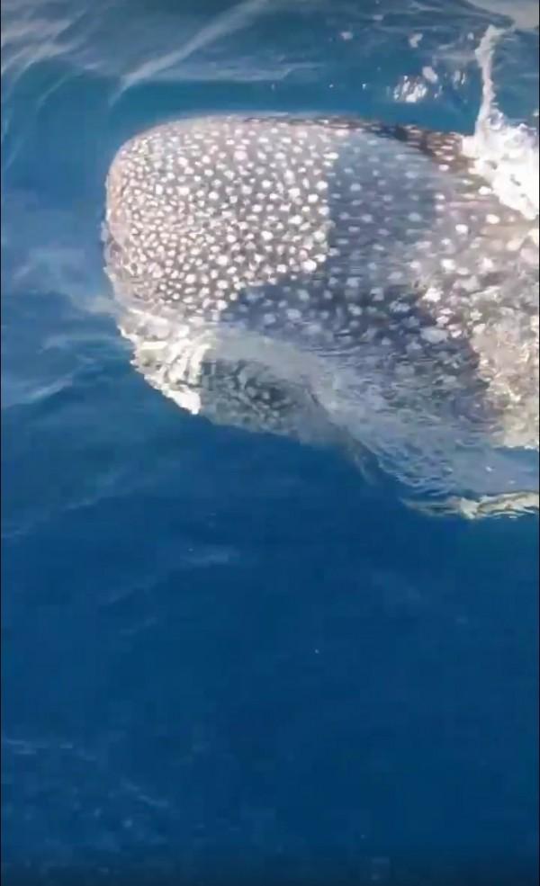 小琉球再見鯨鯊。(記者陳彥廷翻攝)
