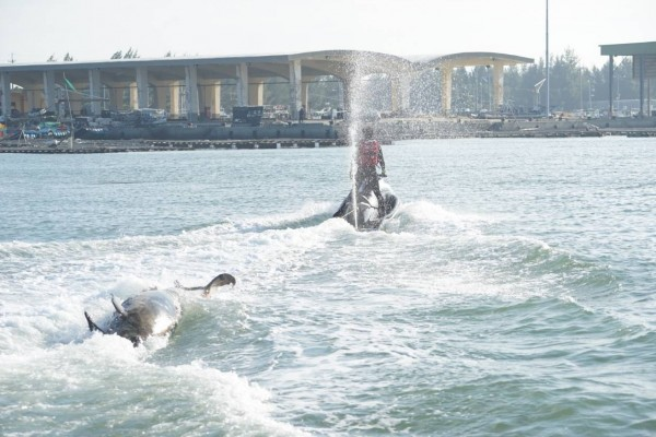 嘉義縣救難協會拖回短肢領航鯨。(嘉義縣救難協會提供)