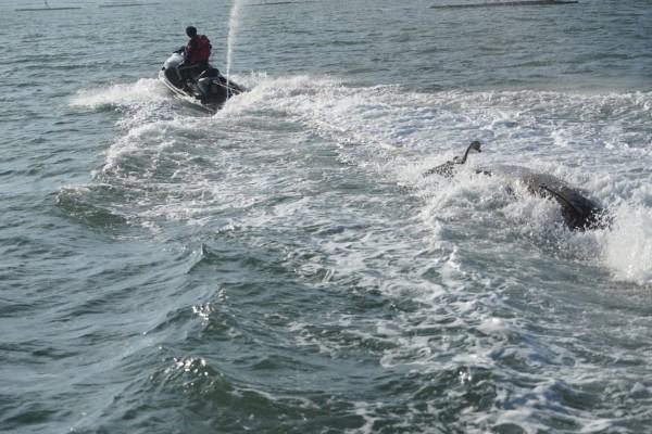 嘉義縣救難協會拖回擱淺死亡的短肢領航鯨。(嘉義縣救難協會提供)