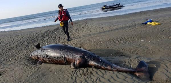 擱淺在沙洲死亡的短肢領航鯨。(嘉義縣救難協會提供)