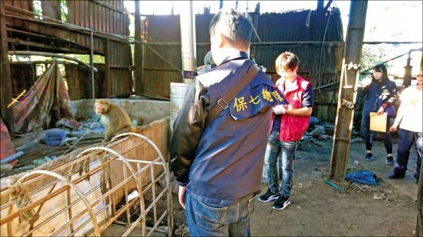 保七刑大在淡水一處養豬場,救出1隻台灣獼猴。(記者陳恩惠翻攝)