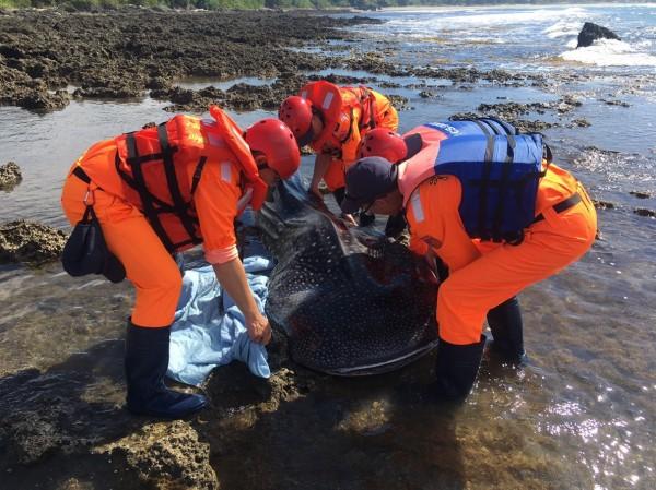 海巡人員處理鯨鯊「後事」。(記者陳彥廷翻攝)