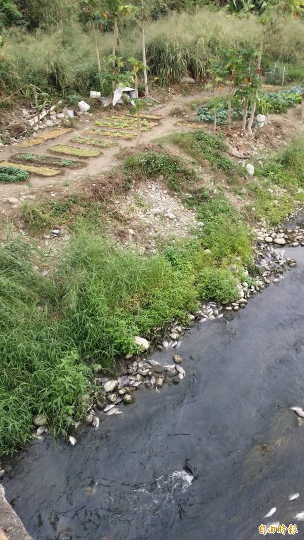 烏日前竹里的旱溪今天出現大群魚屍,里民懷疑是上游工廠偷排廢水,要求相關單位處理(記者蘇金鳳攝)