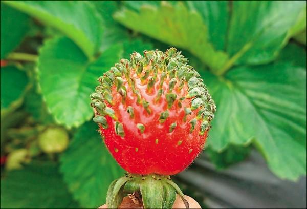 草莓表皮上的種子發芽,有如長了頭髮。(徐姓莓農提供)