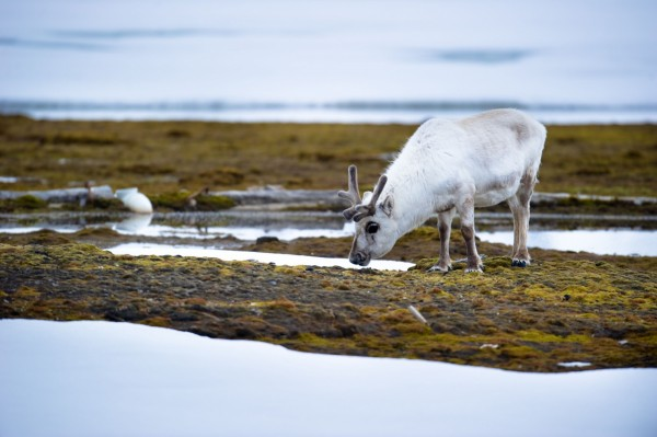 近20年來,北極地區的馴鹿數目已從500萬隻減至210萬隻,跌幅驚人。(法新社)