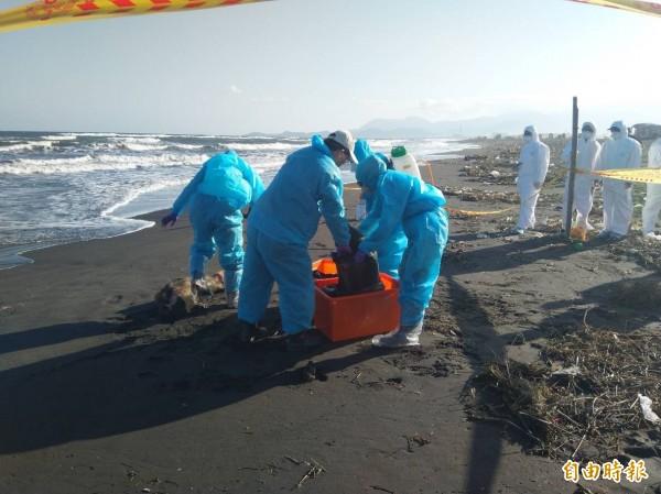 今天早上有網友在宜蘭縣五結利澤海灘上發現一明顯已經死亡的豬隻,相關人員已採樣送驗。(記者張議晨翻攝)