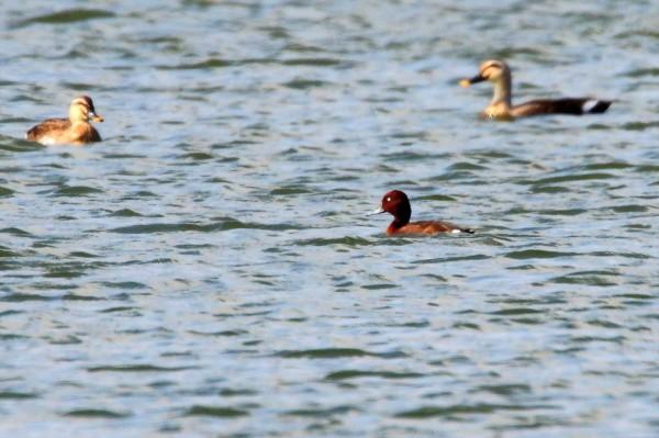 有民眾在桃園某埤塘發現在台灣出現次數屈指可數的「白眼潛鴨」,桃園市野鳥學會認為,「這也突顯大自然自己在為桃園埤塘的請命發聲」。(桃園市野鳥學會提供)