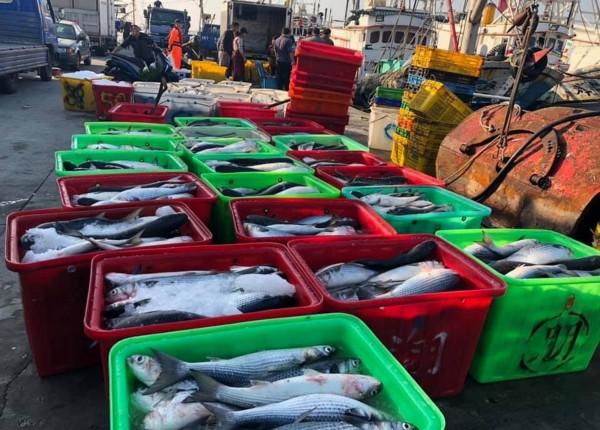 連日來線西鄉漁民大豐收,野生烏魚堆滿塭仔港碼頭。(記者湯世名翻攝)