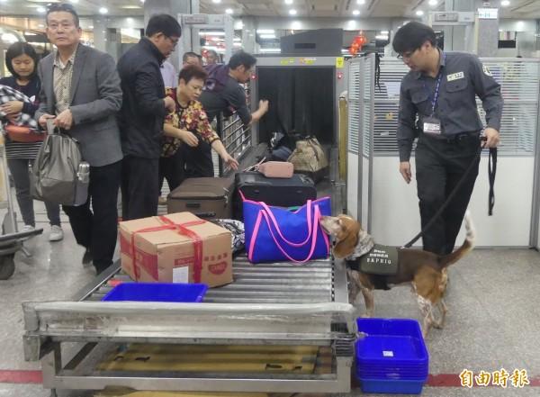 根據交通部航港局統計,今年金門小三通旅客數可望突破185萬人次,創歷史新高。圖為防疫犬在小三通旅客入境前,進行最後的把關工作。(資料照)