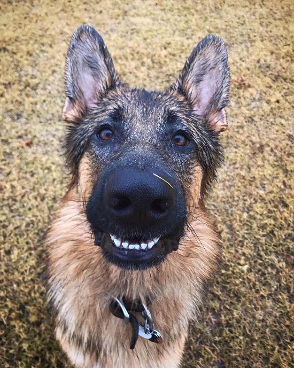 德國狼犬Strider的主人在IG上PO出牠的生活照。(圖擷取自IG)