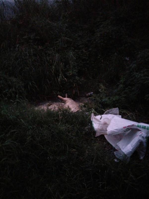 繼宜蘭出現死豬被丟棄在海邊後,昨天下午花蓮又有6頭死豬被隨意棄置,農委會家畜衛生試驗所今天表示,檢驗結果為陰性,豬隻死亡不是因為非洲豬瘟。(記者王峻祺翻攝)