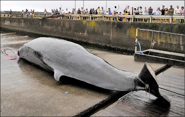 日本預定明年七月起重啟停止約卅年的商業捕鯨。圖為日本關東唯一捕鯨基地「千葉縣和田港」捕獲一隻貝氏喙鯨。(美聯社檔案照)