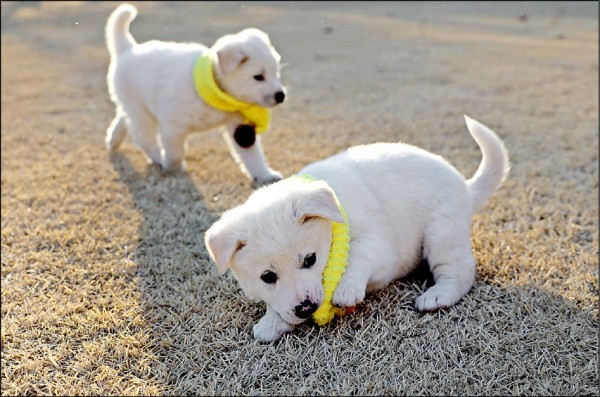 英國擬於明年立法禁止寵物店出售未滿六個月的幼貓、幼犬。圖為北韓領導人金正恩送給南韓總統文在寅的豐山犬「小熊」,於十一月初產下的幼犬。(歐新社)