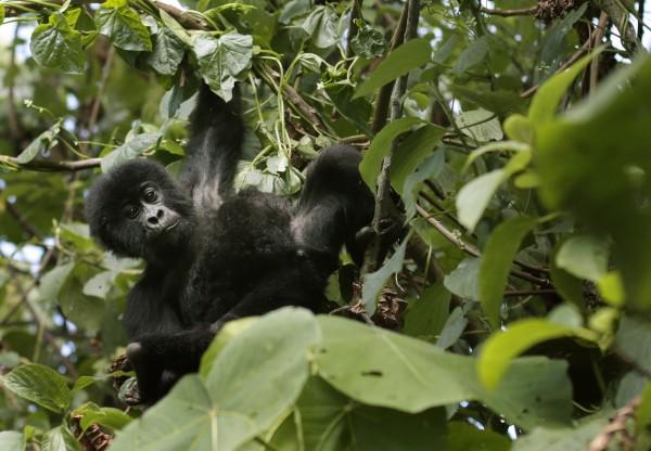 剛果的格勞爾大猩猩(Grauer)近來因為數量縮減,大量近親繁殖,導致發生基因突變的機率提高,甚至有些猩猩的手腳變成了蹼。(美聯社)