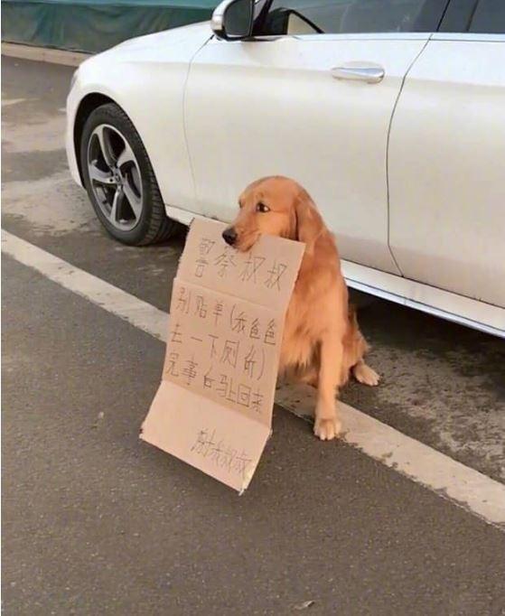 車者疑似內急違停,派出超萌狗狗顧車,還叼了紙板求求警察好心放過。(圖擷取自爆廢公社)