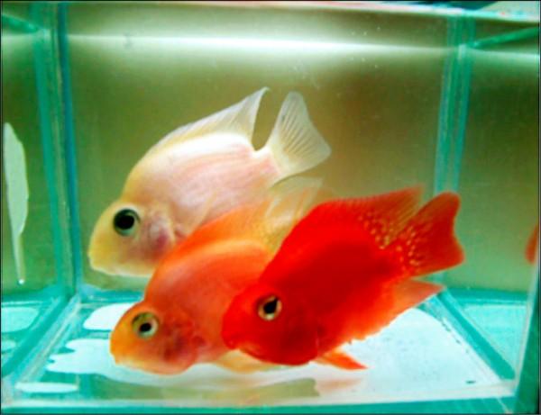 大同大學生物工程系系主任陳志成指導的博士生將觀賞紅魚「越養越白」,意外發現添加的「菌紅素」是美白關鍵。(圖:大同大學提供)