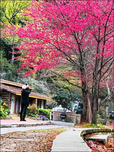 武陵農場的緋寒櫻(山櫻花)綻放。(武陵農場提供)