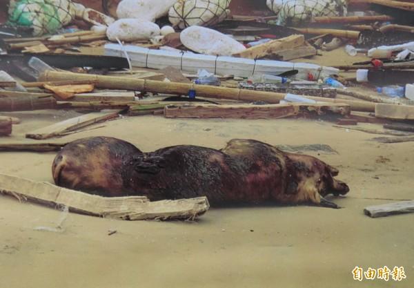 本週一金門縣金沙鎮田浦海邊驚見一隻死豬,昨天在這隻死豬上驗出非洲豬瘟,農委會推斷應是從中國漂到金門。(資料照)