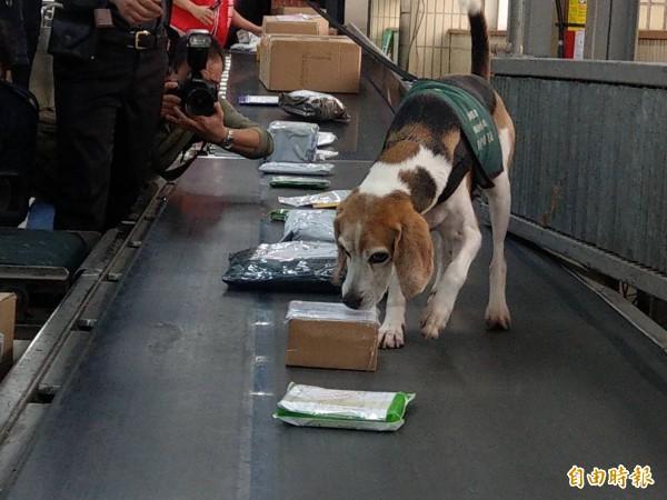 中華郵政來自疫區包裹,都會由防疫犬進行嗅聞。(記者鄭瑋奇攝)