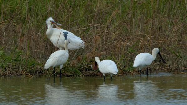 茄萣濕地出現罕見白琵鷺(左上張嘴鳥)。(工務局提供,國立高雄科技大學教授張順雄攝)