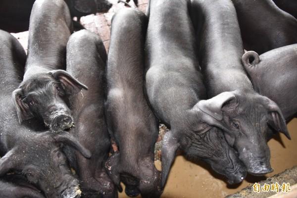 對於何時禁廚餘養豬,農委會今天臨時召開記者會說明,暫時還不會全面禁止,但萬一發生疫情,會「立即」禁止以廚餘養豬。(資料照)
