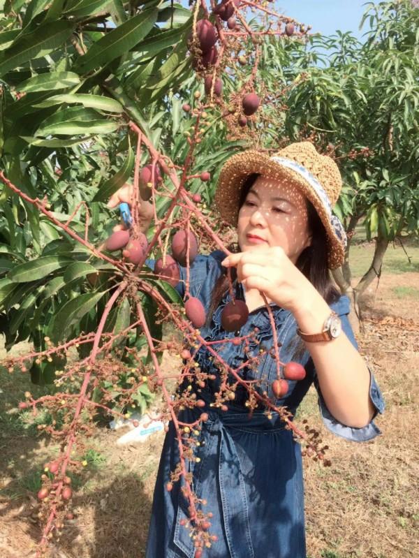王姓果農在安定種植愛文芒果,竟已有果實。(王姓果農提供)