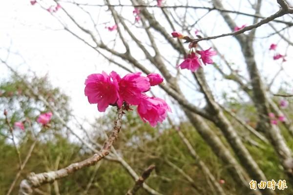 梅嶺梅花季還沒到,山櫻花卻搶先開。(記者吳俊鋒攝)
