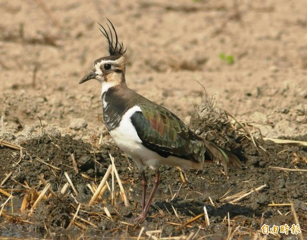「土豆鳥」小辮鴴頭頂上長有一小撮像辮子一般上翹的冠羽,又被鳥友暱稱為「天線寶寶」。(記者廖淑玲攝)