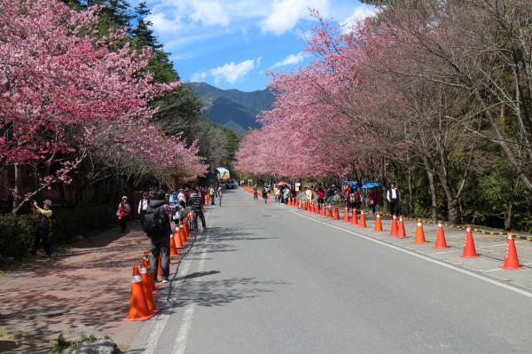 武陵農場櫻花季2月登場,客運分別於1/11、1/17日開放預購。(圖:公路總局提供)
